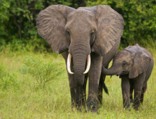 elephant survival organization